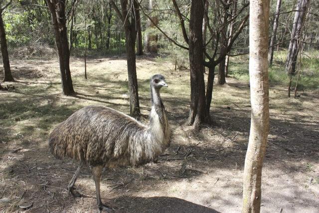 オーストラリアの国鳥であるエミューは寒暖差の激しい環境の中生息する飛べない鳥(走鳥)で肌再生力も非常に高い