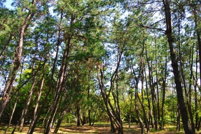 フランスランド地方(南西部)に生息する海岸松の樹皮から抽出された天然由来であるポリフェノールがフラバンジェノール