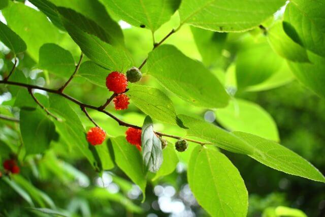 桑の葉茶を飲むことによって髪が育成しやすい体質へ改善していくことができる