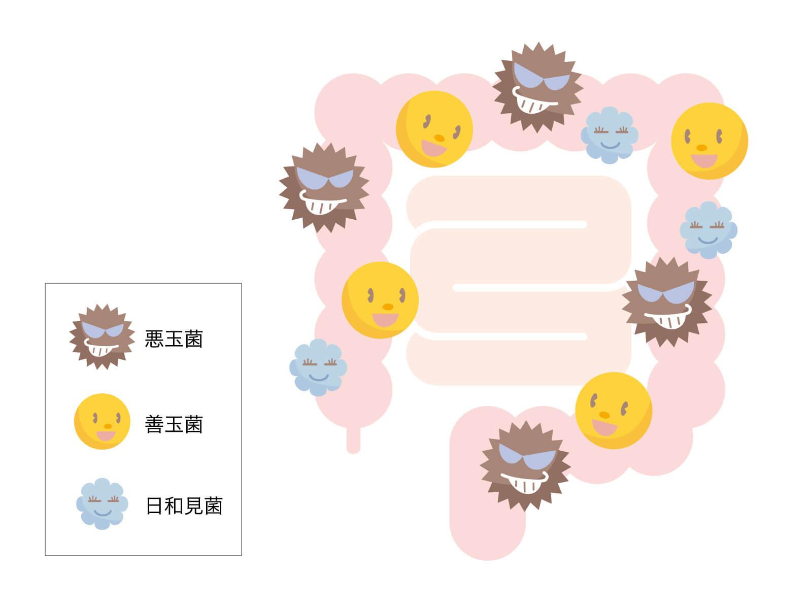 腸内細菌は「善玉菌」「悪玉菌」「日和見菌」の3つに分類されるがこのうちの「日和見菌」に属するのが「痩せ菌」