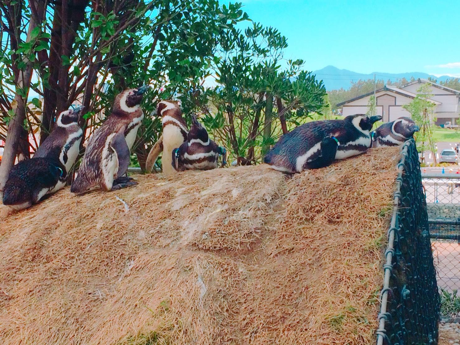 マゼランペンギンのくつろぐ姿